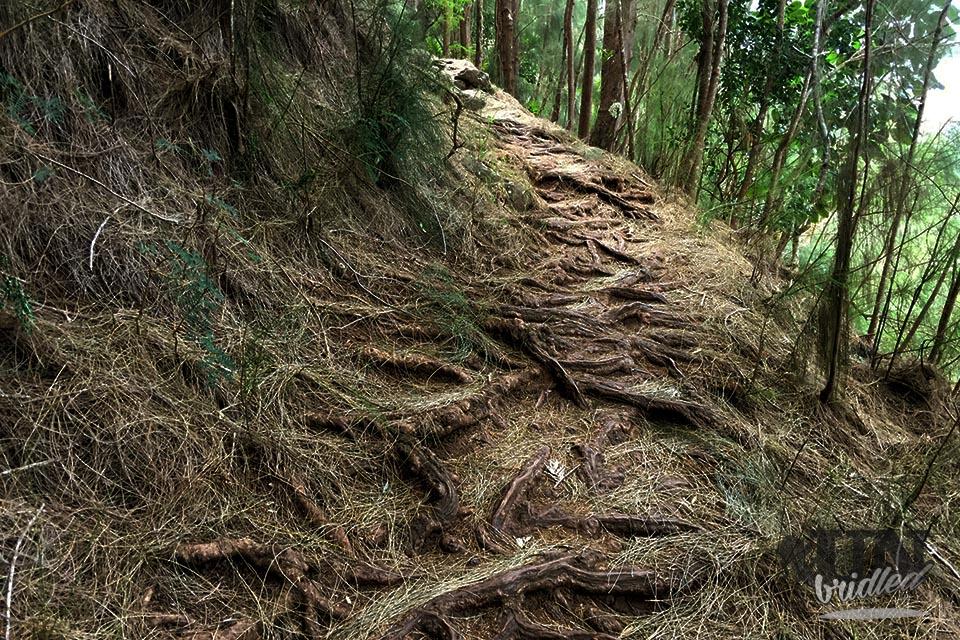 Wurzeln, welche an der Oberfläche zu sehen sind, bilden Stufen auf dem Kuliouou Trail