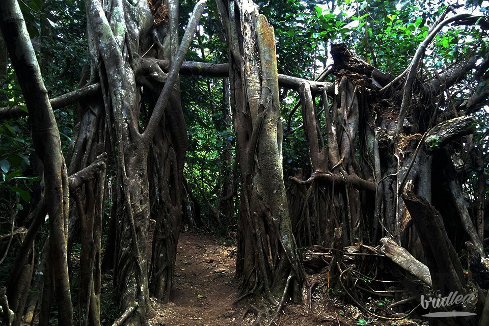Those trees on the Kuliouou Ridge Trail have grown in a way, that they form a gate