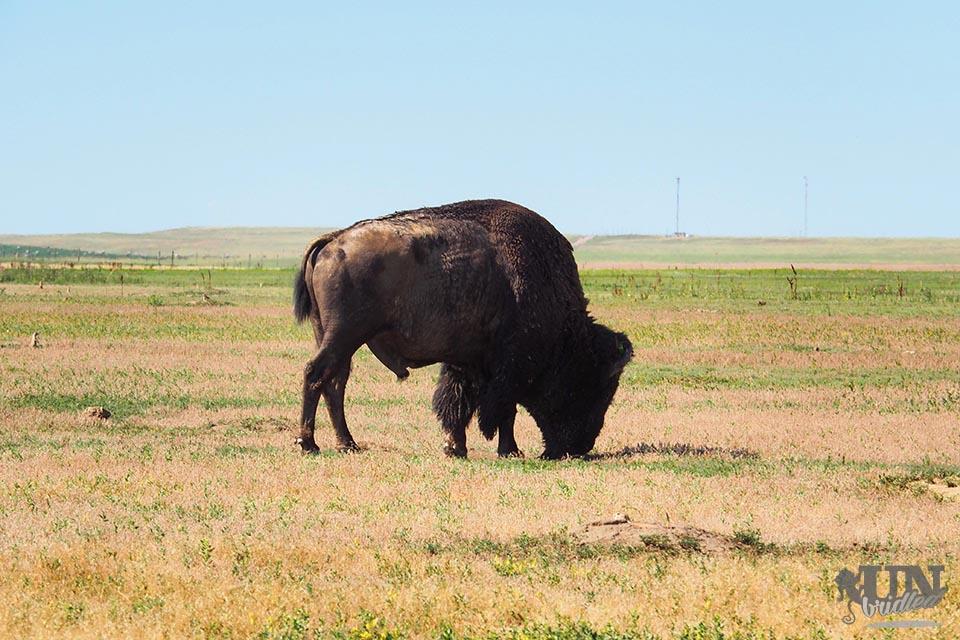 Einzelnes Bison im Badlands Nationalpark beim Gras fressen