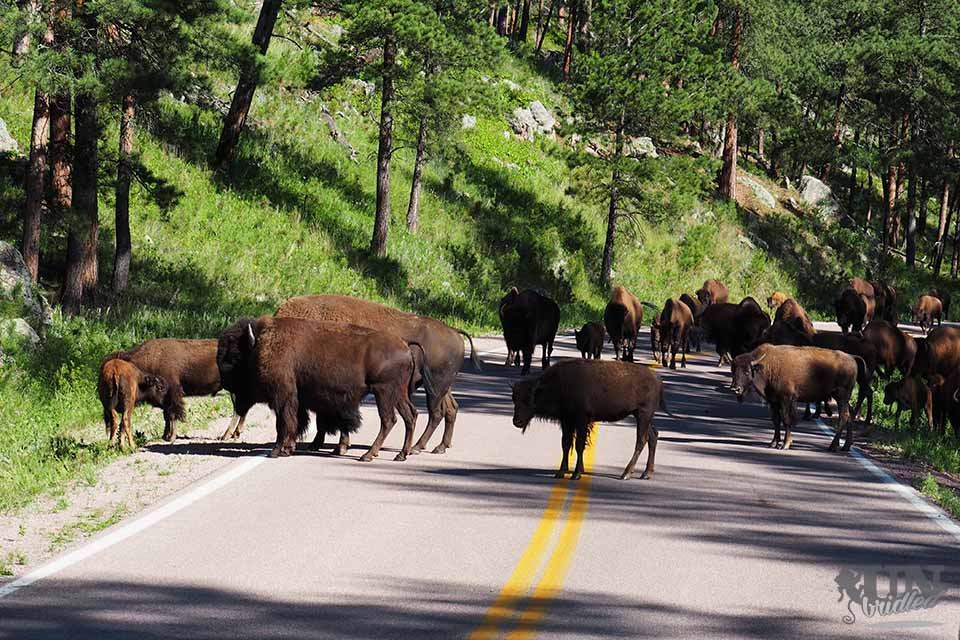 Bison herd on the road in Custer State Park