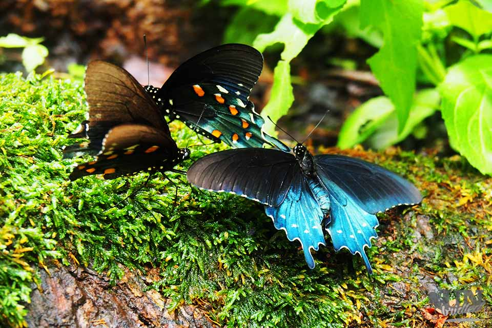 Black-Blue butterflies at a campsite in Great Smoky Mountains National Park