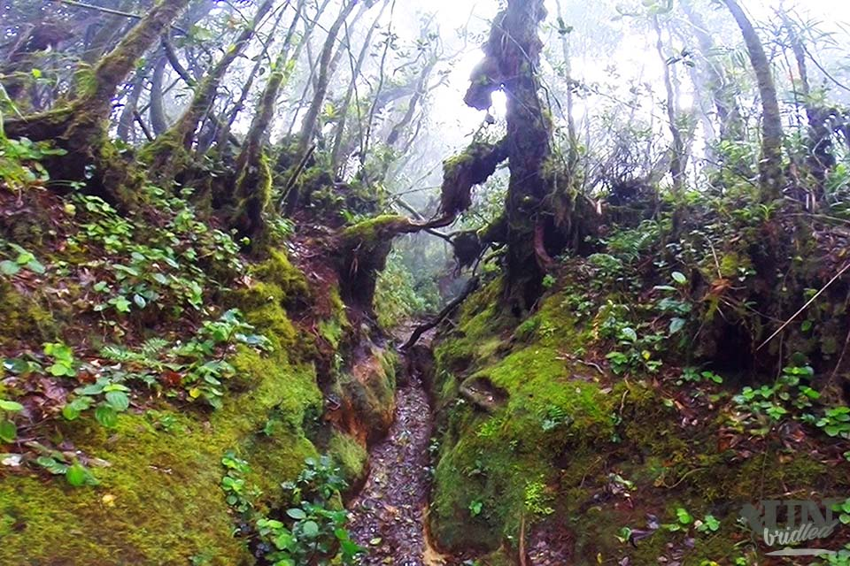 The Jungle Trail No. 1 goes through a mossy old forest