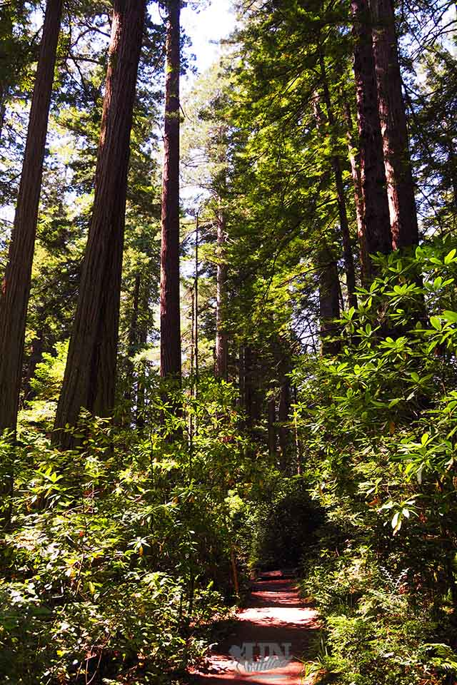 Picturesque path inside the Redwoods National Park