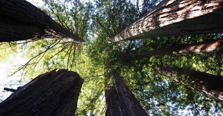 Redwoods Bäume von unten photographiert