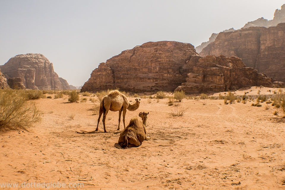 Desert scene with camels in Jordan: One of the best adventure destinations for outdoor junkies