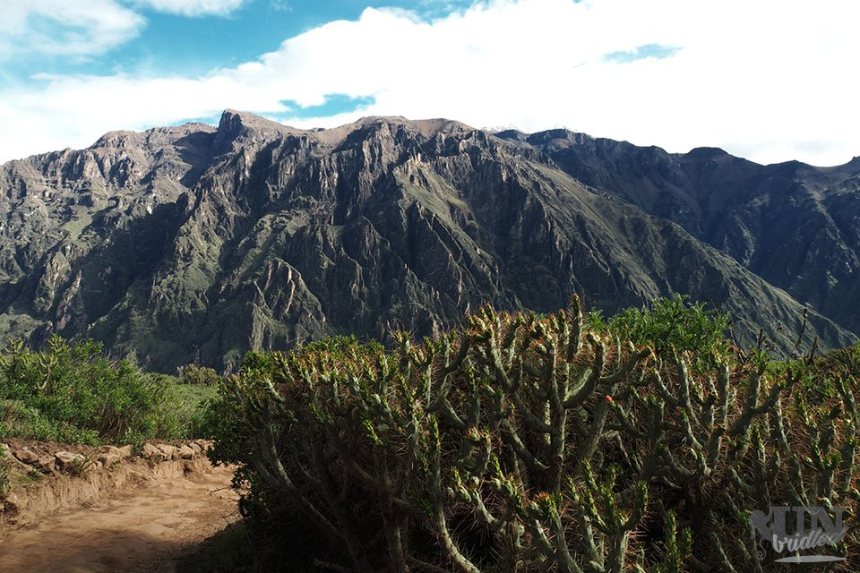 A large bush of cacti in the foreground with massive mountains of the Colca Canyon in the back