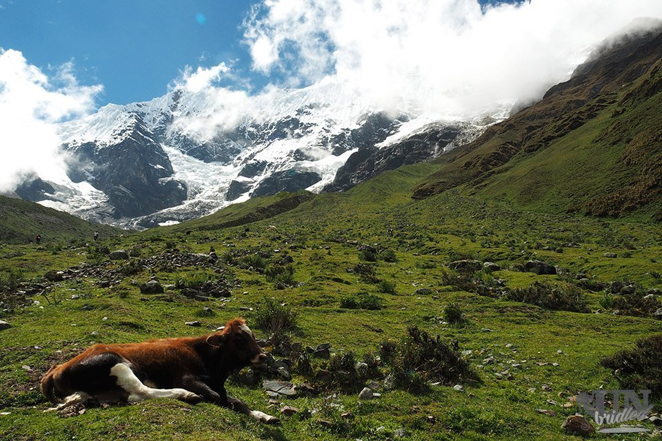 Cow on a meadow along the Salkantay Trail
