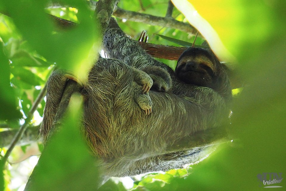 Mama sloth with baby surrounded by leaves